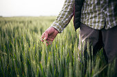 istock Farmer Checking Quality Of His Wheat Crop Plants. 1226424730