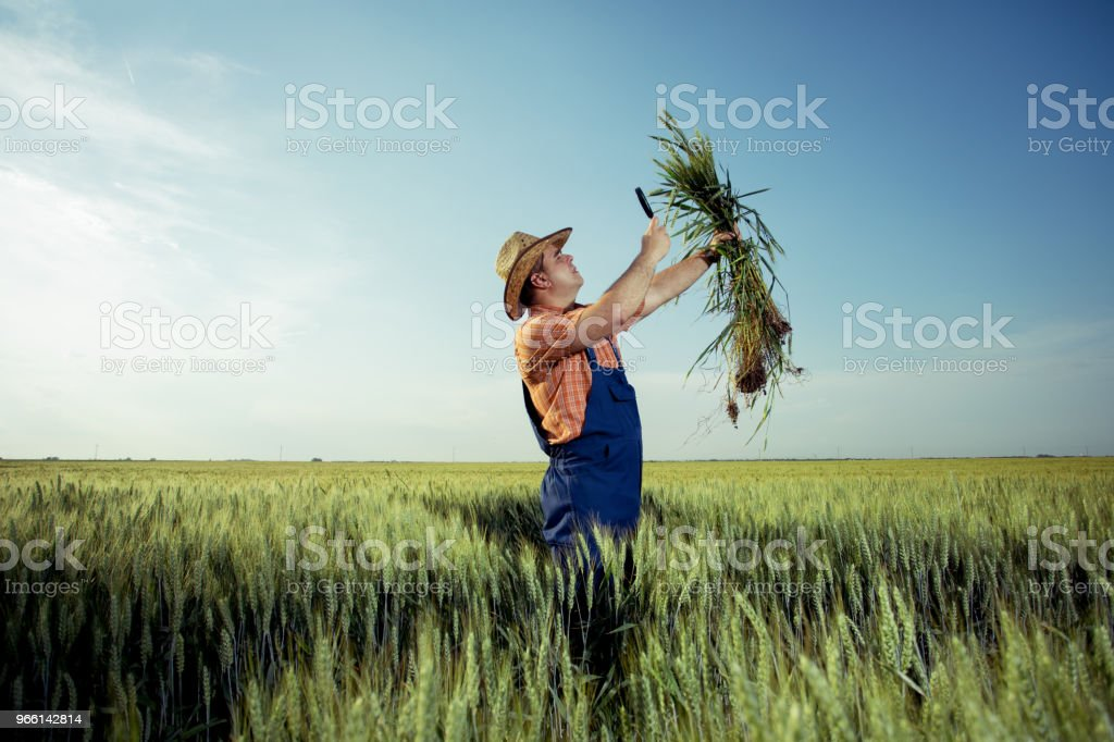 Farmer checking the quality of wheat with magnifying glass - Стоковые фото Взрослый роялти-фри