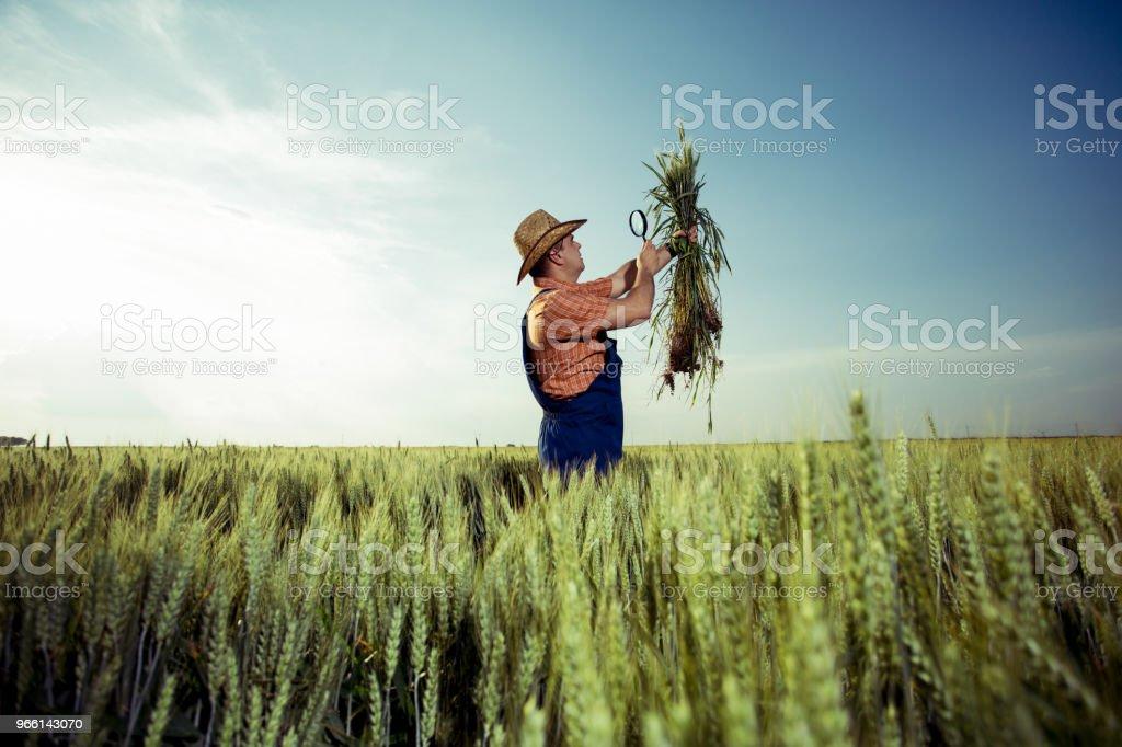 Granjero de comprobar la calidad de trigo con lupa - Foto de stock de Adulto libre de derechos