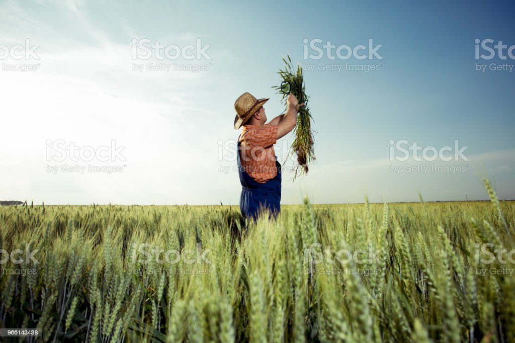 Jordbrukaren kontrollera kvaliteten på vete med förstoringsglas - Royaltyfri Bonde - Jordbruksyrke Bildbanksbilder