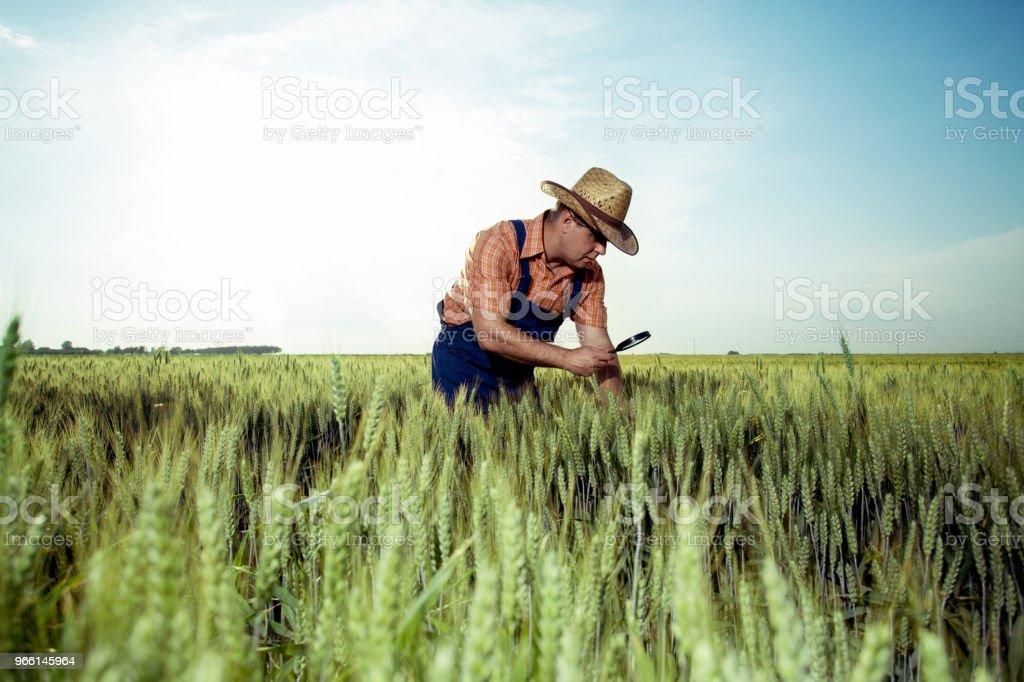 Boer de kwaliteitscontrole van tarwe met Vergrootglas - Royalty-free Aangelegd Stockfoto