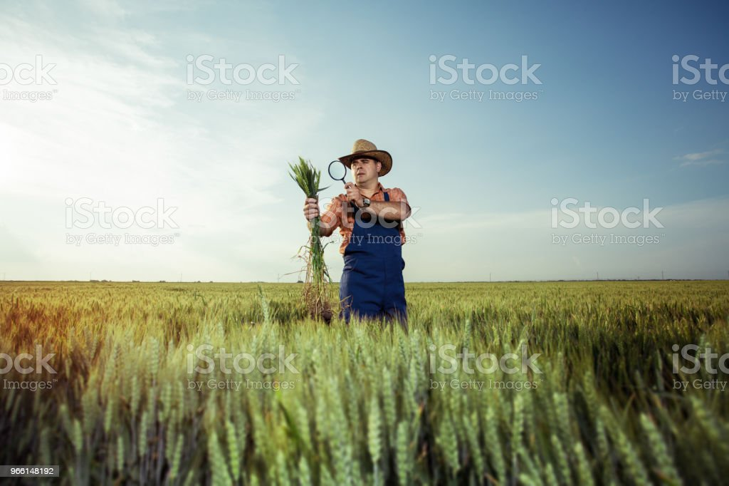 Farmer checking the quality of wheat with magnifying glass - Royalty-free Adult Stock Photo