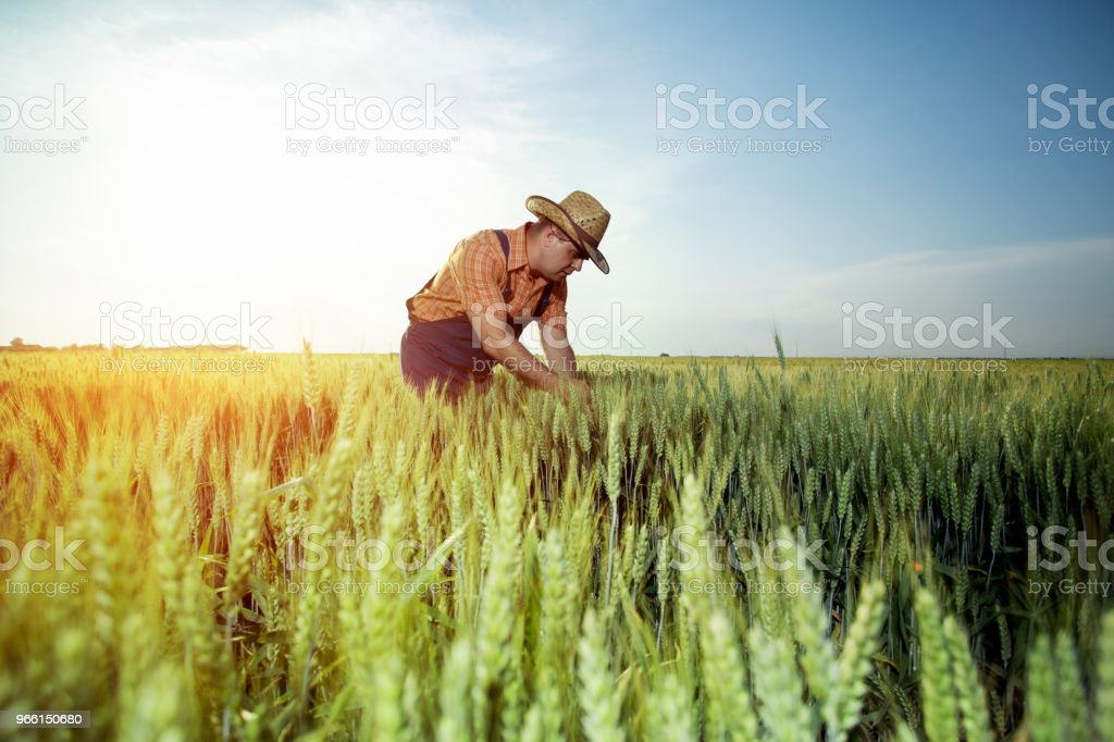 Farmer checking the quality of wheat with magnifying glass - Royalty-free Adulto Foto de stock