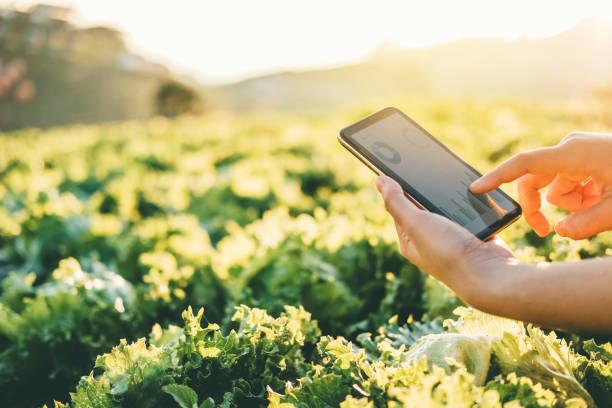 農民檢查夏天在納帕捲心菜的觸控板 - 農業 個照片及圖片檔