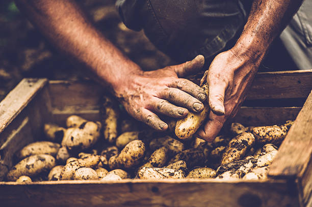 farmer cleaning his potatoe with bare hands - batata crua imagens e fotografias de stock