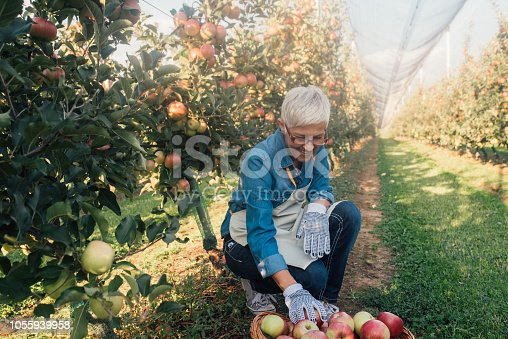 1056015258 istock photo Farmer collecting apples 1055939958