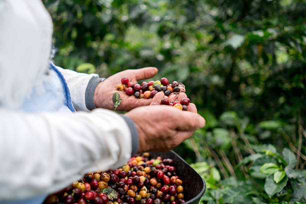 Farmer collecting coffee beans at a farm stock photo