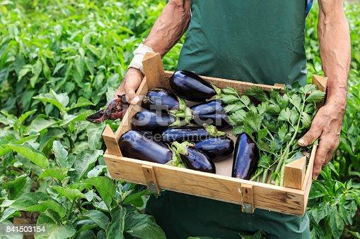 Farmer collects fresh aubergines at an organic farm