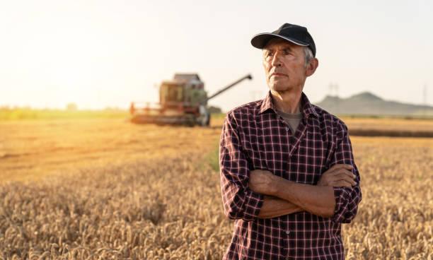 Landwirt kontrollierte Ernte in seinem Feld stock Foto – Foto