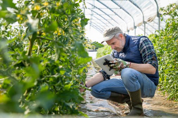farmer controlling tomaten zaailingen met digitale tablet in de kas - glass house stockfoto's en -beelden