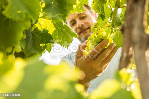Farmer controls white grapes on a vineyard. Agriculture or gardening - country outdoor scenery, warm sunset light.