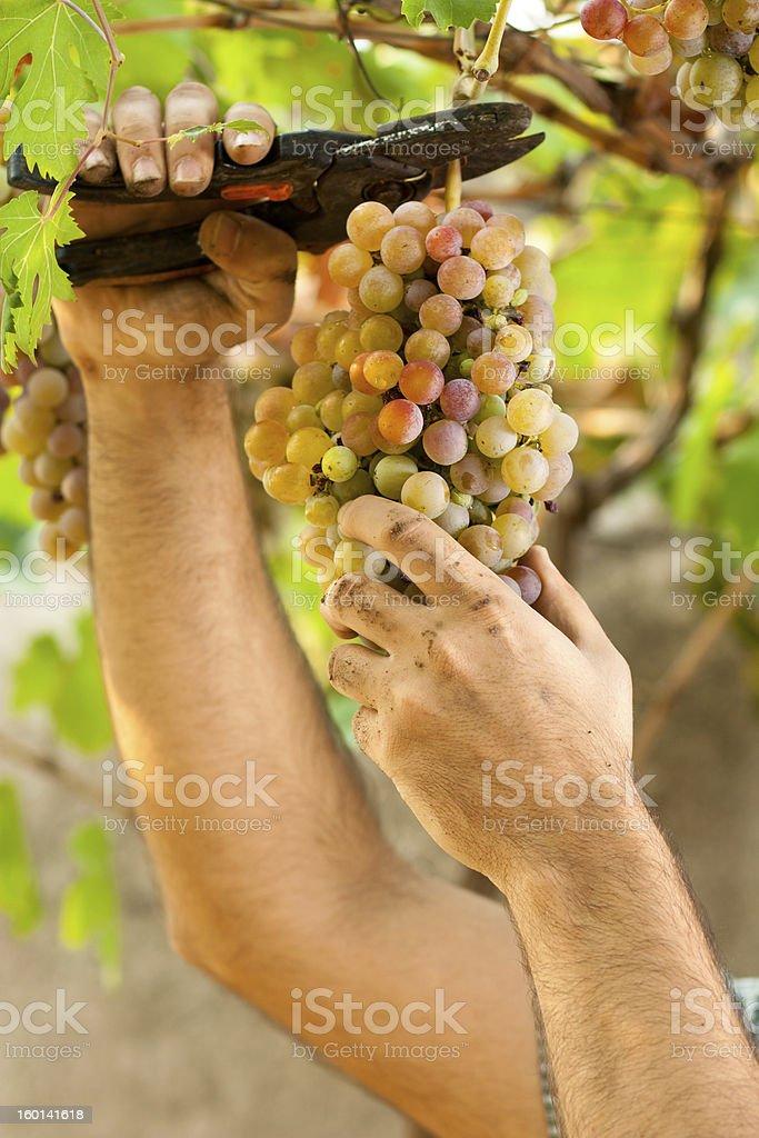 Farmer Cutting Grapes royalty-free stock photo