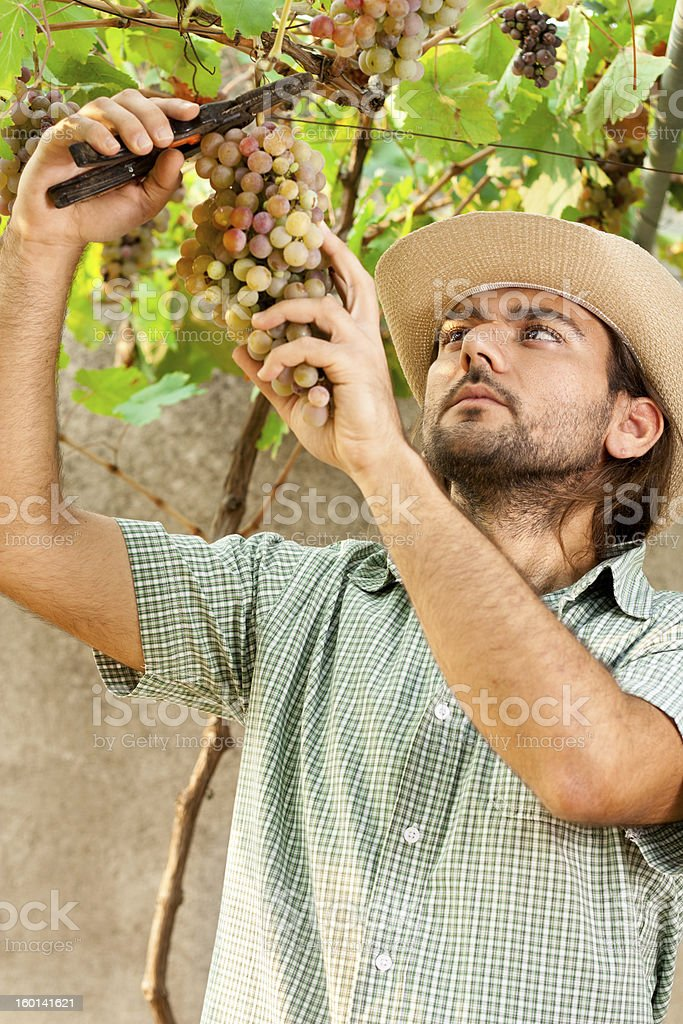 Farmer Cutting Grapes royalty-free stock photo
