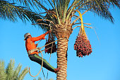 Hurghada/Egypt. 02 August 2018: Man harvesting dates on palm trees. Man cutting clusters of dates hanging on date palms. Man harvesting dates. Worker gather dates growing on palm tree. Farmer cutting ripe fruits from date farm