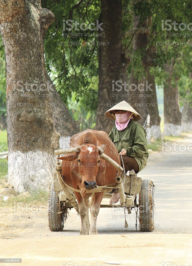 Farmer drives a cow cart in Vietnam stock photo