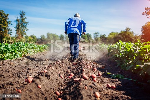 Farmer driving small tractor for soil cultivation and potato digging. Autumn harvest potato picking. Gathering fall crop in countryside