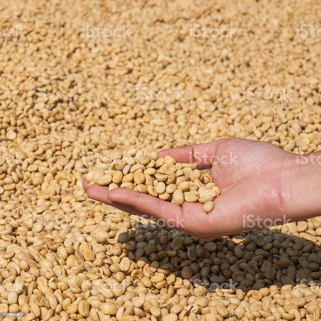 Farmer drying coffee beans royalty-free stock photo