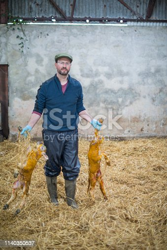 Farmer working hard during lambing season, Galway, Ireland.
