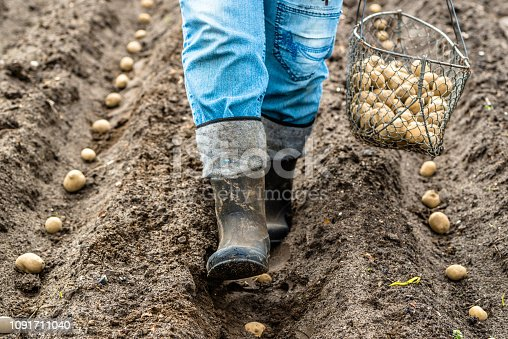 Farmer during potato planting, seedlings of potatoes in field, organic farming
