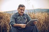Farmer examinig wheat field status with digital tablet
