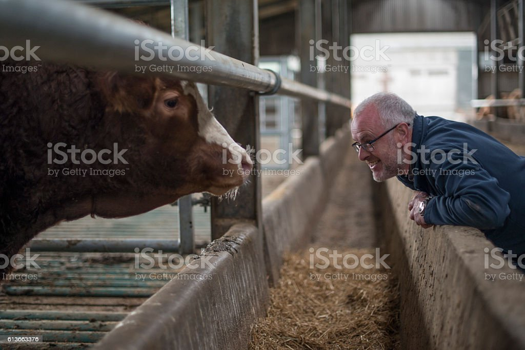 Farmer examining his herd stock photo
