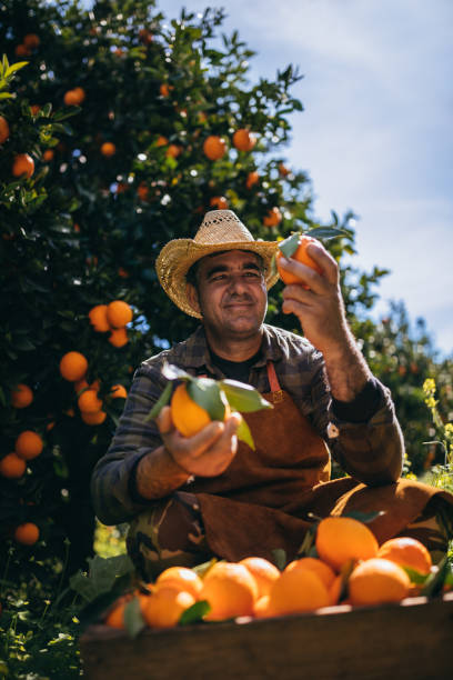 Farmer examining oranges produce in orange orchard during harvest period stock photo