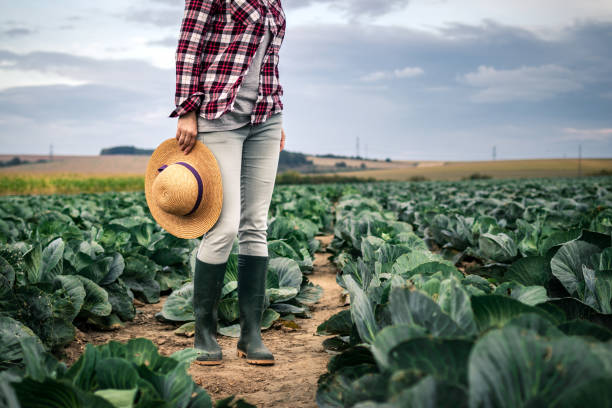 Farmer examining quality of cabbage vegetable before harvest stock photo
