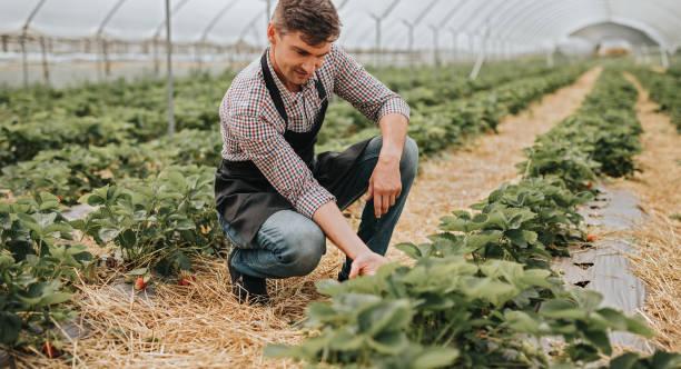 Farmer examining strawberry harvest in greenhouse stock photo