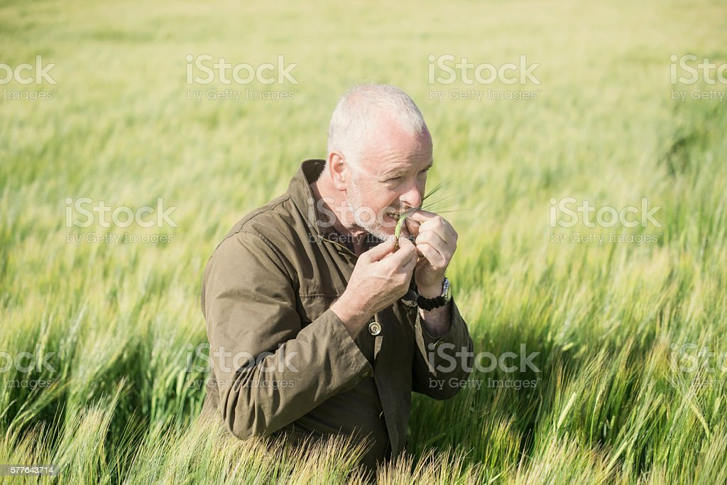 Farmer examining wheat in a field royalty-free stock photo