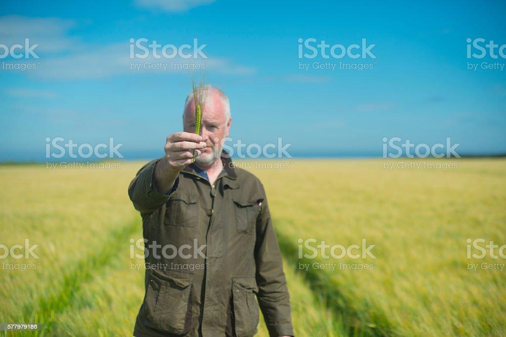 Farmer examining wheat in a field royalty-free stock photo