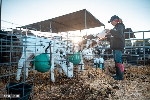 Farmer is feeding calf with milk on a ranch in Utah, USA.