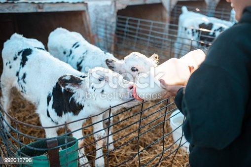 Farmer is feeding calves with milk on a ranch in Utah, USA.