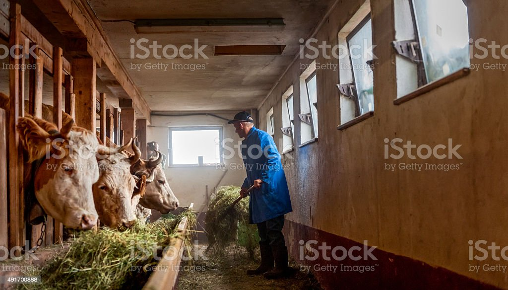 farmer feeding cows hay  in barn stock photo