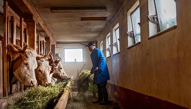 farmer feeding cows hay  in barn stock photo