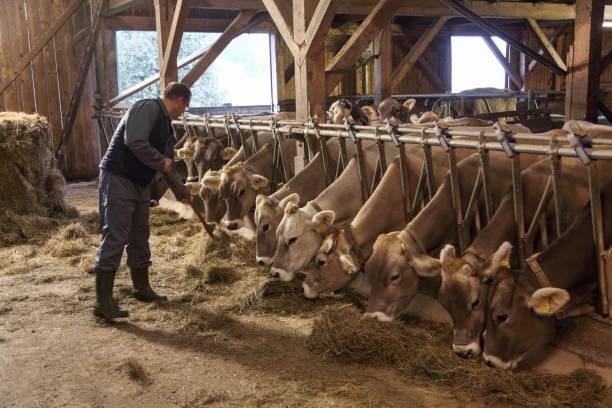 Landwirt füttert Kühe in einer Scheune – Foto