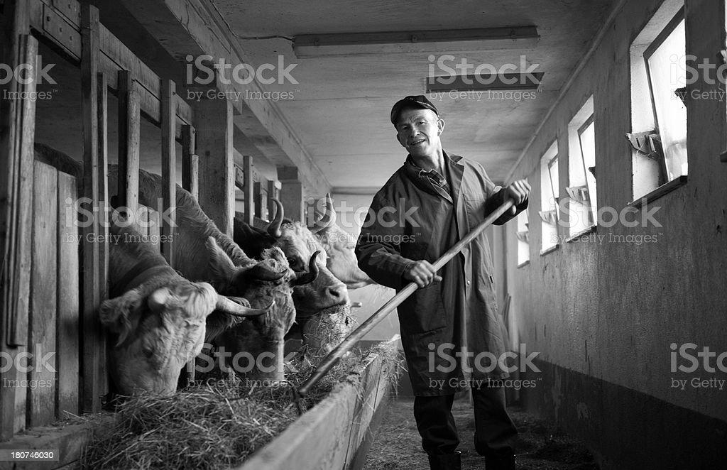farmer feeding cows in barn royalty-free stock photo