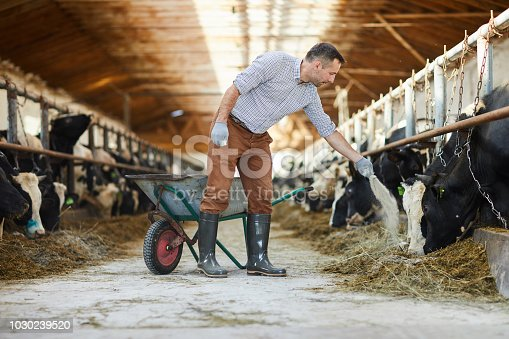 Full length portrait of modern farm worker  giving mineral supplements to livestock in cow shed, copy space