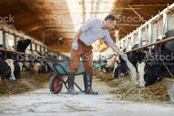 Farmer feeding cows picture id1030239520?b=1&k=6&m=1030239520&s=612x612&h=frhweqzptuxkeugdvp1sy3hh0lbpmd4ypziayez1c48=