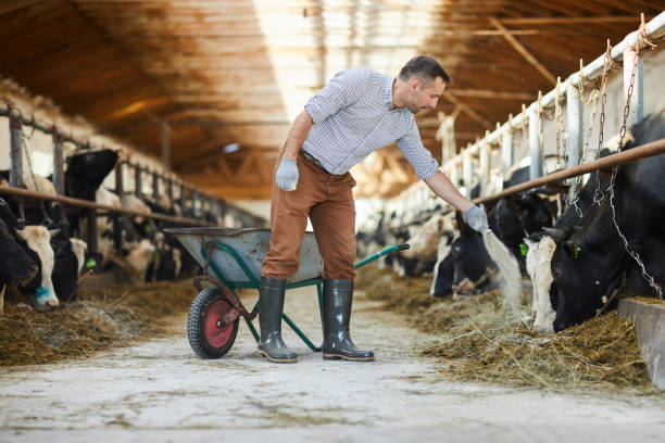 Farmer Feeding Cows Full length portrait of modern farm worker  giving mineral supplements to livestock in cow shed, copy space dairy farm stock pictures, royalty-free photos & images