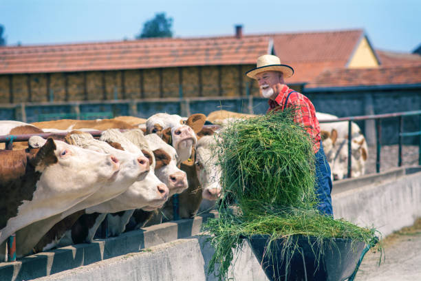 Farmer feeding cows Male rancher in a farm rancher stock pictures, royalty-free photos & images
