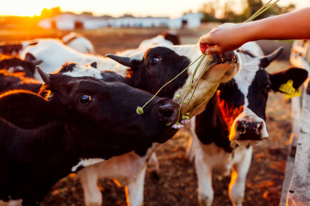 Farmer feeding cows with grass on farm yard at sunset. Cattle eating and walking outdoors. Farmer feeding cows with grass on farm yard at sunset. Happy cattle eating and walking outdoors in village. working animal stock pictures, royalty-free photos & images
