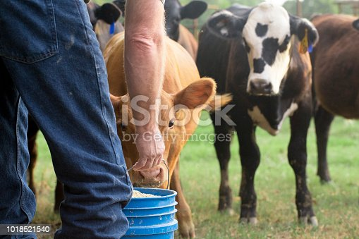 Farmer Feeding His Baby Cows from a Blue Bucket