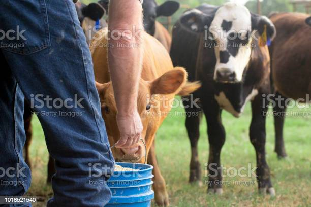 Farmer feeding his baby cows from a blue bucket picture id1018521540?b=1&k=6&m=1018521540&s=612x612&h=fkbgd1to3zdzffmqnabq3lqn7su1n1jt0qeirnp ra4=