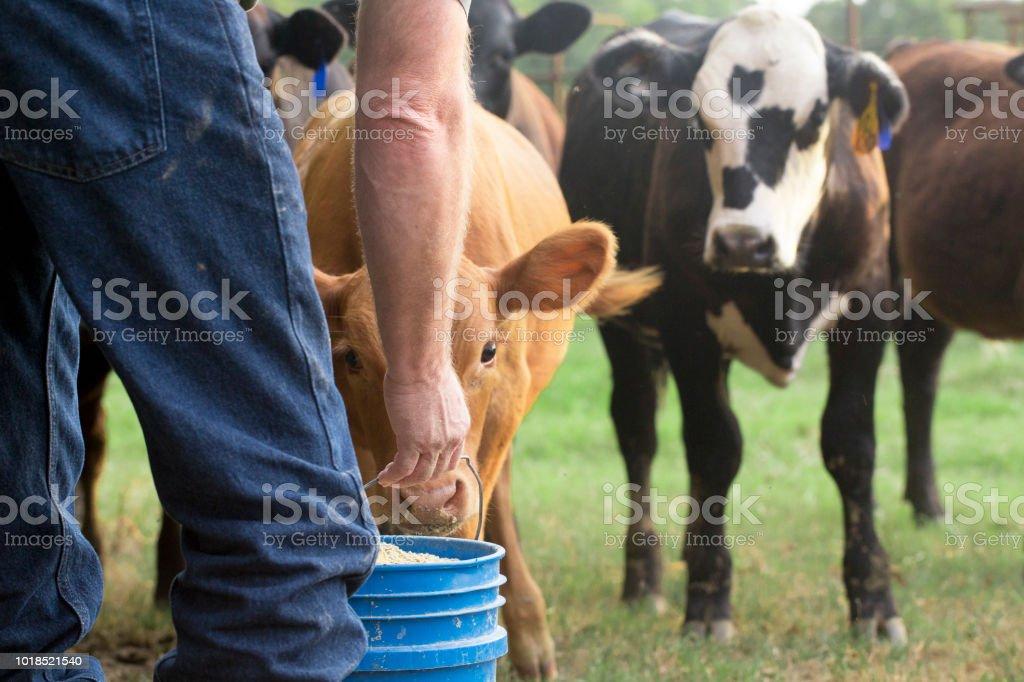 Farmer Feeding His Baby Cows from a Blue Bucket stock photo