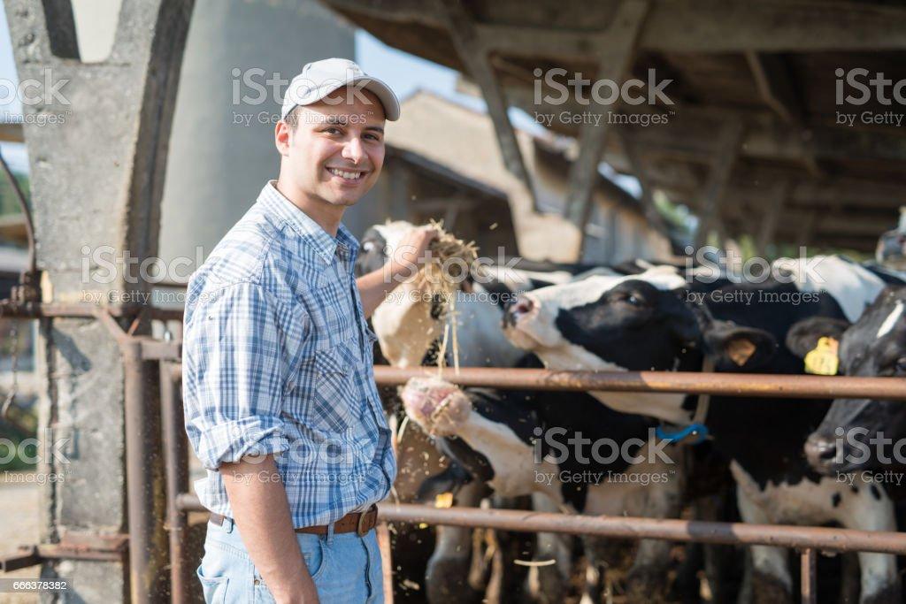 Farmer feeding his cows stock photo