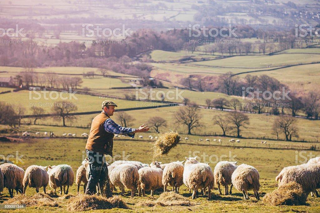 Farmer Feeding the Sheep stock photo
