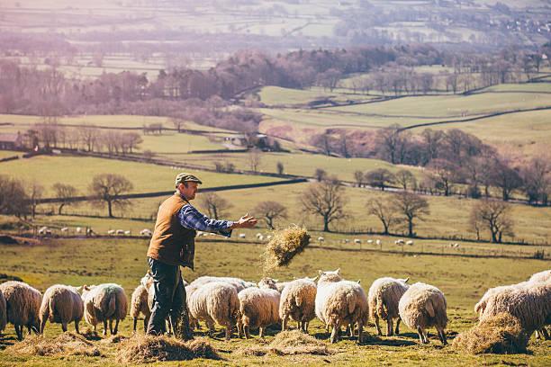 Hirte Und Schafe