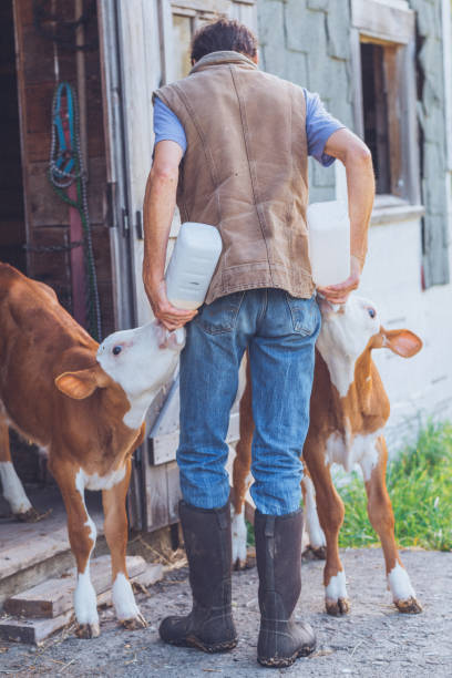 farmer feeds baby farm animal calves milk from bottles - katiedobies stock pictures, royalty-free photos & images