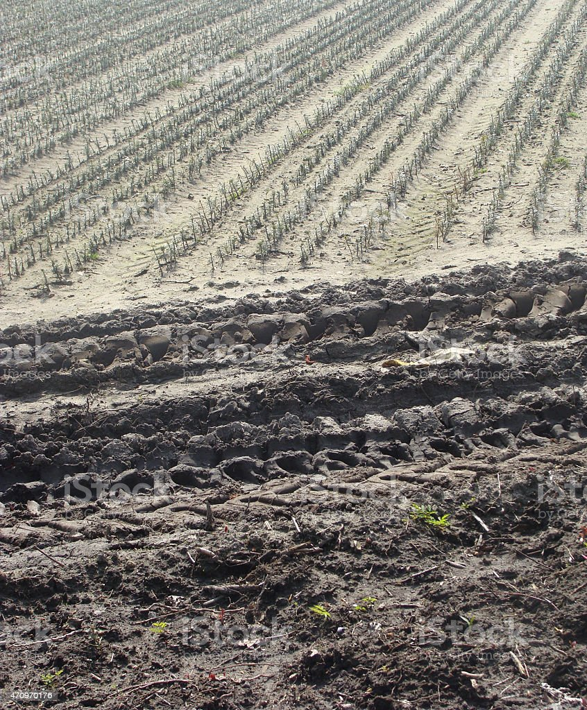 farmer field fir rows planted with tractor tracks stock photo