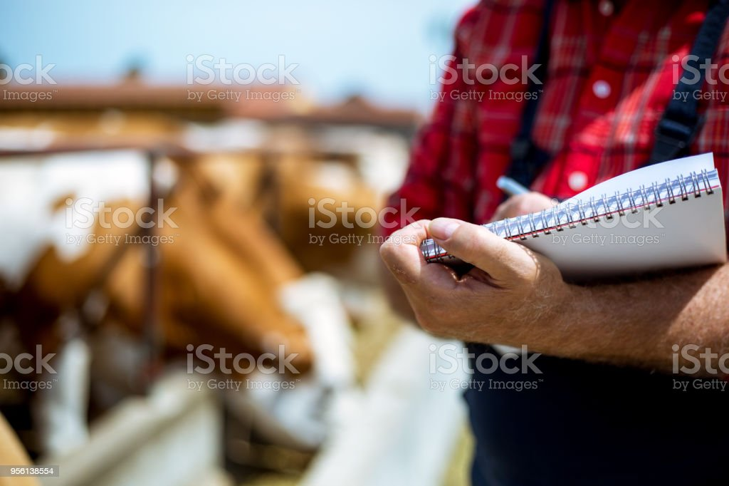 Farmer fooding and examining his herd stock photo